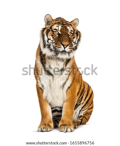 Tiger sitting in front of a white background, big cat #1655896756