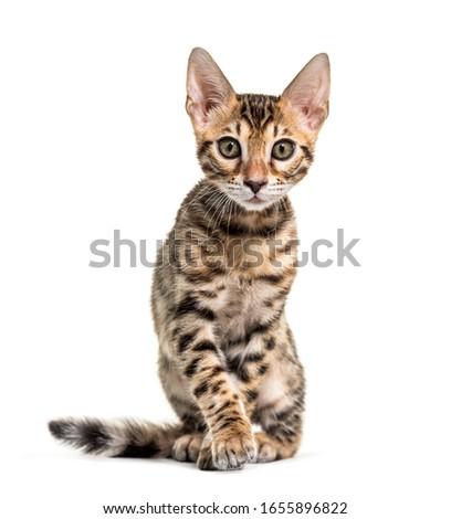 Young Bengal cat staring, isolated on white Royalty-Free Stock Photo #1655896822