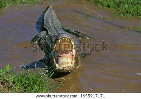 American Alligator, alligator mississipiensis, Adult in Defensive Posture with Open Mouth