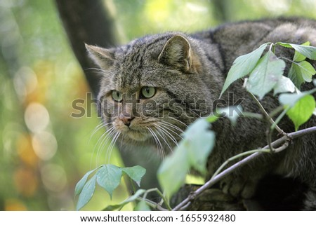 European Wildcat, felis silvestris  foliage  Royalty-Free Stock Photo #1655932480