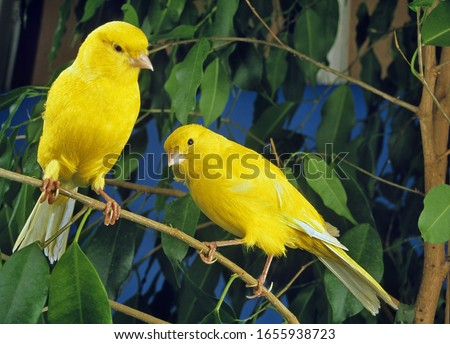 Yellow Canaries, serinus canaria  standing on Branch   #1655938723