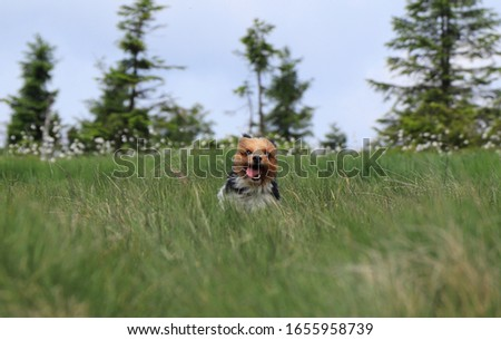 Biewer Terrier in the middle of meadow. Fun face with tongue out. Biewer runs with open mouth. Comic animal head with ears in back and open mouth. Agility. Biewer Yorkshire Terrier is a racer. #1655958739