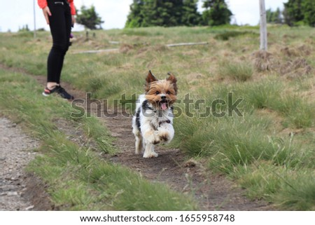 Cute Biewer Terrier runs to one owner to other. Biewer Yorkshire a la Pom Pon in move. Special dog race located in europe. Head of Yorkshire Terrier and body of some hybrid. Agility is his favorite. #1655958748