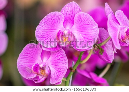 Close up beautiful purple Phalaenopsis orchids or moth orchid background.