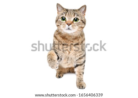 Adorable playful cat Scottish Straight sitting isolated on a white background Royalty-Free Stock Photo #1656406339