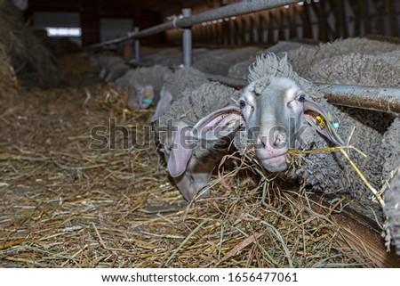 Sheep farm. Sheep on a farm. The premises of the sheep farm. White sheep crowd in the classic farm.  #1656477061
