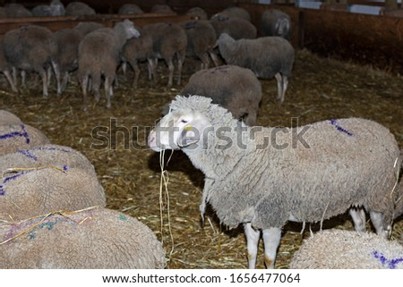 Sheep farm. Sheep on a farm. The premises of the sheep farm. White sheep crowd in the classic farm.  #1656477064