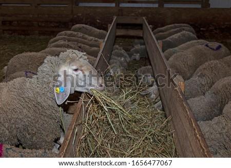 Sheep farm. Sheep on a farm. The premises of the sheep farm. White sheep crowd in the classic farm.  #1656477067