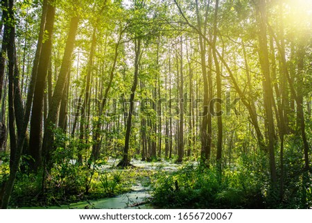Dense forest and swamp. Sunbeams bring down trees. Swamp vegetation.