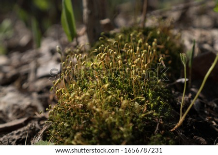 Bright green moss macro shot. Macro of moss with green spore capsules on orange stalks. Spring calm background #1656787231