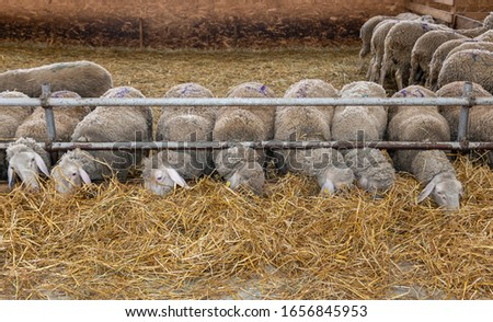 Sheep farm. Sheep on a farm. The premises of the sheep farm. White sheep crowd in the classic farm.  #1656845953
