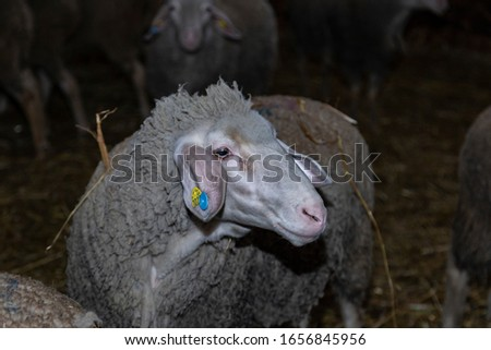 Sheep farm. Sheep on a farm. The premises of the sheep farm. White sheep crowd in the classic farm.  #1656845956