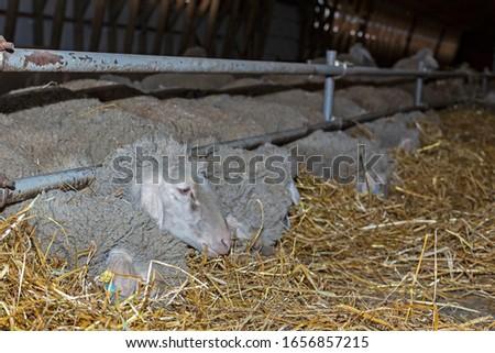 Sheep farm. Sheep on a farm. The premises of the sheep farm. White sheep crowd in the classic farm.  #1656857215