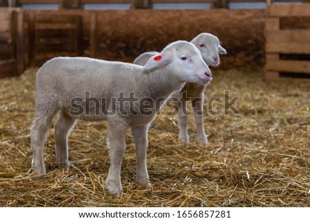Sheep farm. Sheep on a farm. The premises of the sheep farm. White sheep crowd in the classic farm.  #1656857281