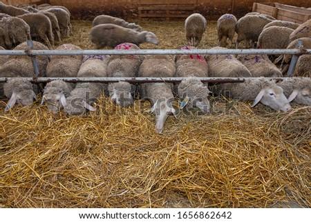 Sheep farm. Sheep on a farm. The premises of the sheep farm. White sheep crowd in the classic farm.  #1656862642