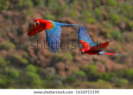 Red-and-green Macaws, Ara chloroptera, in the dark green forest habitat. Beautiful macaw parrots from Amazon, Brazil. Birds in flight. Action wildlife scene from South America. #1656915190