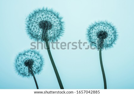 Dandelion flowers silhouettes on blue background. Minimal spring concept. close up