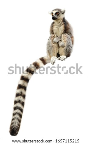 Portrait of ring-tailed lemur (Lemur catta) isolated on white background. Monkey sitting with forelegs crossed on knees. Long tail, the most famous sign, hanging down. Habitat Madagascar, Africa.
