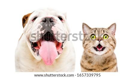 Adorable English Bulldog and funny cat Scottish Straight isolated on white background #1657339795