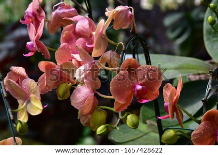 Phalaenopsis succulent plants, hard green leaves, beautiful bouquet of flowers, colorful, eye-catching, petal-shaped petals, orange petals blooming beautifully #1657428622