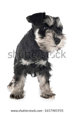 miniature schnauzer in front of white background #1657481935