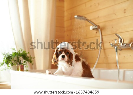 Puppy washes in the bathroom. The dog has foam on his head. Cavalier King Charles Spaniel. Shower water is pouring. A look at nkas. #1657484659
