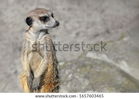 Very funny Meerkat Manor portrait in a clearing at the zoo . The meerkat or suricate is a small carnivoran belonging to the mongoose family. Meerkat close up. Copy space