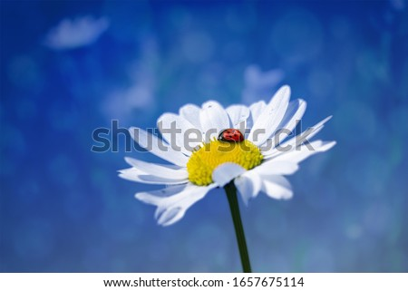 Ladybug sits on a flower, Closeup of a ladybird on a flower with blue background. Red ladybug with black points sitting on white daisy flower. Resting on a flower Royalty-Free Stock Photo #1657675114