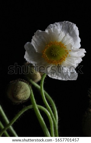Close up picture of an isolated Corn Poppy (also called Shirley Poppy or Papaver rhoeas) with a black background.
