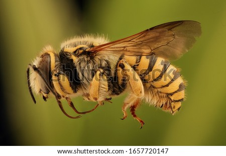 bee Macro specimen, Flying insect , side front back Royalty-Free Stock Photo #1657720147