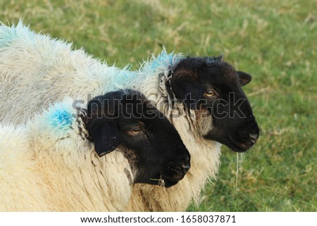 Profile of two suffolk lambs standing side by side #1658037871