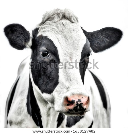 Close up portrait of the head of a Friesian Cow Royalty-Free Stock Photo #1658129482