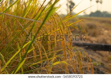 Golden golden ears on rice fields in the fields in Thailand #1658193721