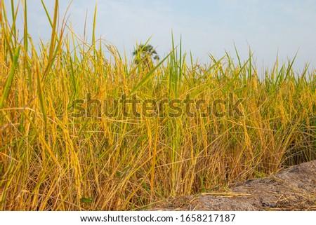 Golden golden ears on rice fields in the fields in Thailand #1658217187