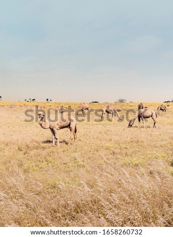 Beautiful picture of feral camels in Australia. Wild camels and dromedaries are eating bush in the outback. A yellow color picture contrasts with a clear blue sky. A perfect wildlife background pic.
