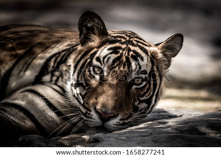 ranthambore wild male tiger Fine art image portrait of wild male bengal tiger extreme close up with eye contact at ranthambore national park or tiger reserve rajasthan india - panthera tigris #1658277241