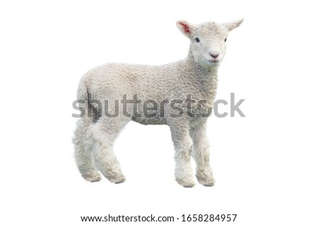 Cut out of young sheep lamb isolated on white background looking at camera. No people. Copy space Royalty-Free Stock Photo #1658284957