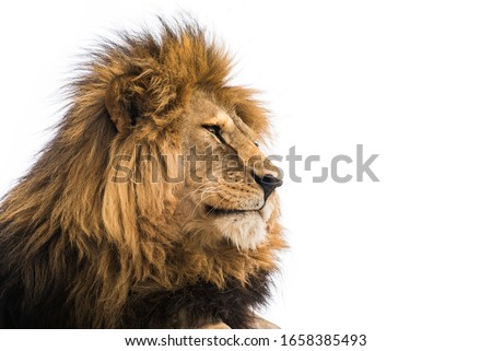 Lion face. Wild african lion looking forward #1658385493