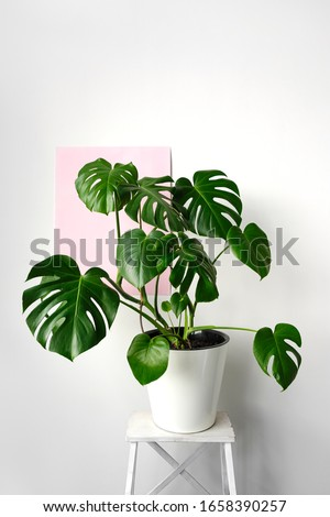 Beautiful monstera flower in a white pot standing on a white wooden stand on a white and pink background. The concept of minimalism. Hipster scandinavian style room interior.  Royalty-Free Stock Photo #1658390257