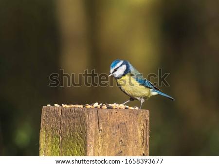 British Wild Birds - Blue Tit & Long-tailed Tit