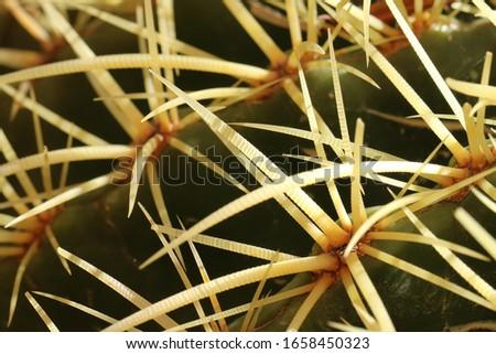 Cactus needles spines splinters macro sunlight, macro photography. #1658450323