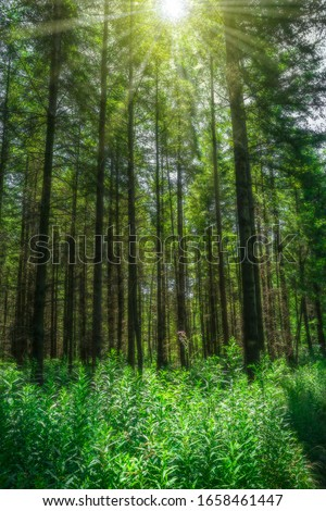 Landscape sun with beams shines magical through high conifers on forest glade Royalty-Free Stock Photo #1658461447