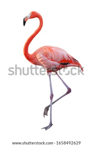 White Pink Flamingo curled heart shaped neck and standing posture, legs close, raise one leg, Isolated on white background. This has clipping path. #1658492629