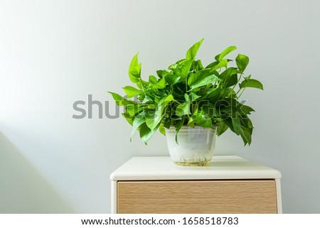Green Radish Bonsai on the tea table #1658518783