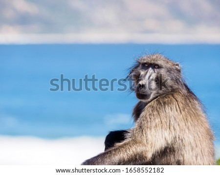 A lone adult male Chacma baboon sits in a contemplative manner while facing the camera with the blue sea and blue sky behind him.