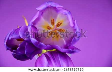 Purple tulips frame stock images. Purple tulips detail on a violet background. Spring floral decoration. Spring flower isolated on a purple background with copy space for text. Purple flower top view