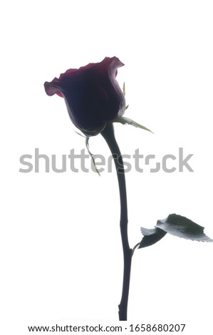 Rose silhouette photo. Single flower on a white background. Gift for woman. Romantic mood card.