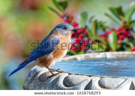 Male Eastern Bluebird Perched on Birdbath in Louisiana Winter With American Holly Tree Branches in Background Royalty-Free Stock Photo #1658768293