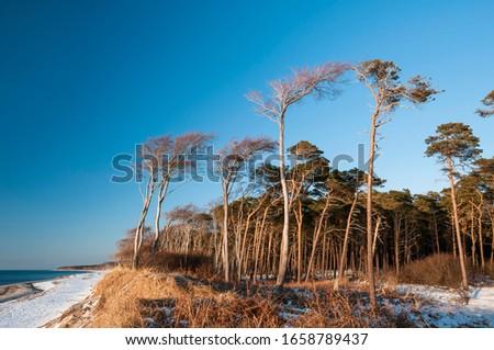 Coastal forest, Weststrand beach, Darss, Western Pomerania Lagoon Area National Park, Mecklenburg-Western Pomerania, Germany Royalty-Free Stock Photo #1658789437