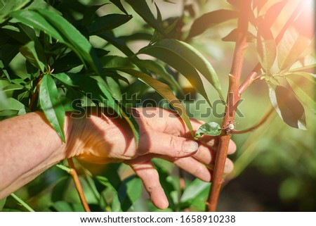 Peach flower on a young tree in hand #1658910238